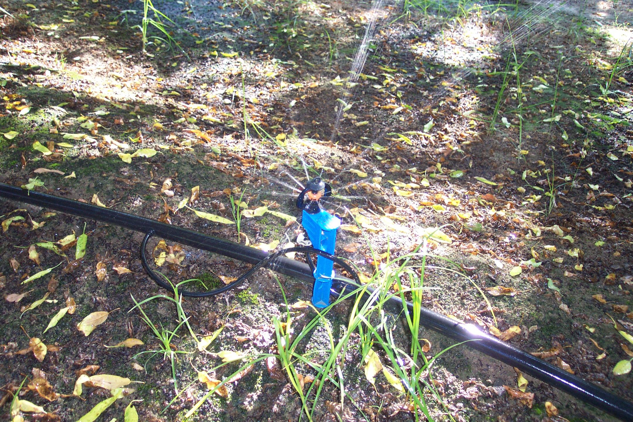 Micro sprinkler in a citrus grove