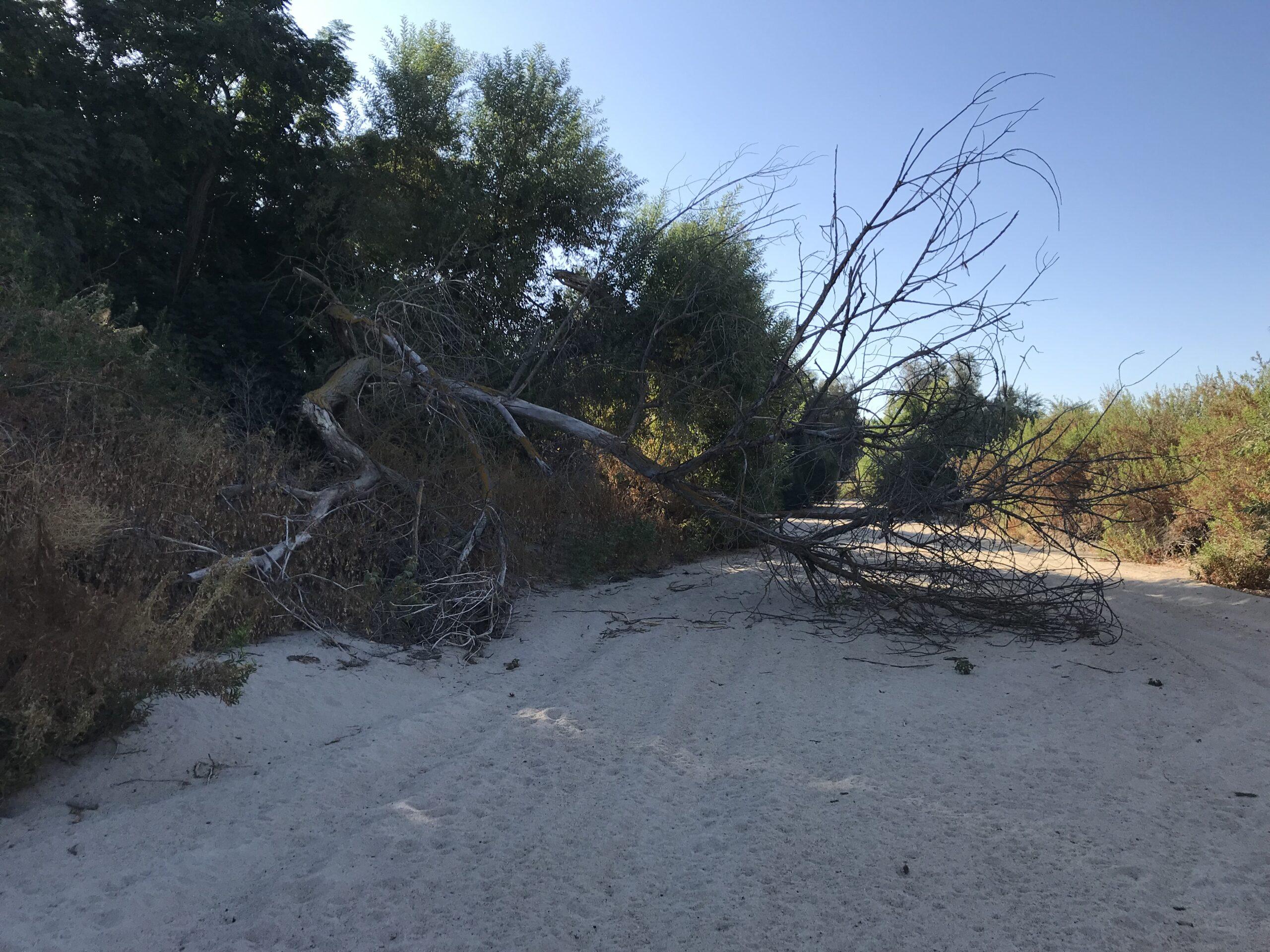 Fallen tree in Poso Creek