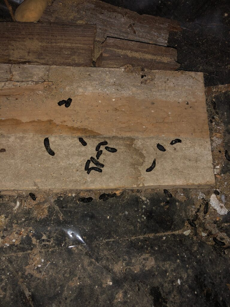 crawl space rat droppings