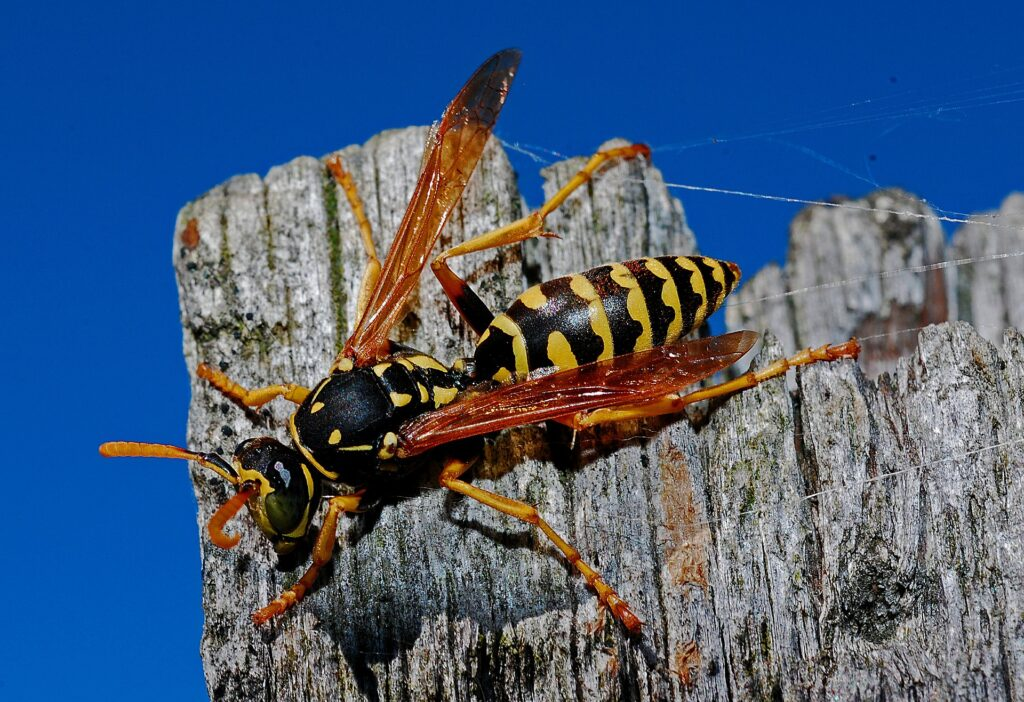 Wasp on fence collecting wood