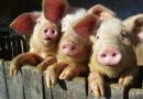 """Um vendedor bateu na nossa porta… lembre dos """"3 porquinhos"""""""
