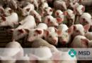 PCV2: A erradicação é possível?