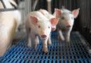 Produção de suínos de primeiro mundo: existe uma arma secreta?
