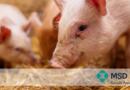 Como definir o momento ideal para vacinar leitões contra o PCV2?