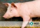 PCV2: Dicas para o diagnóstico de uma doença multifatorial
