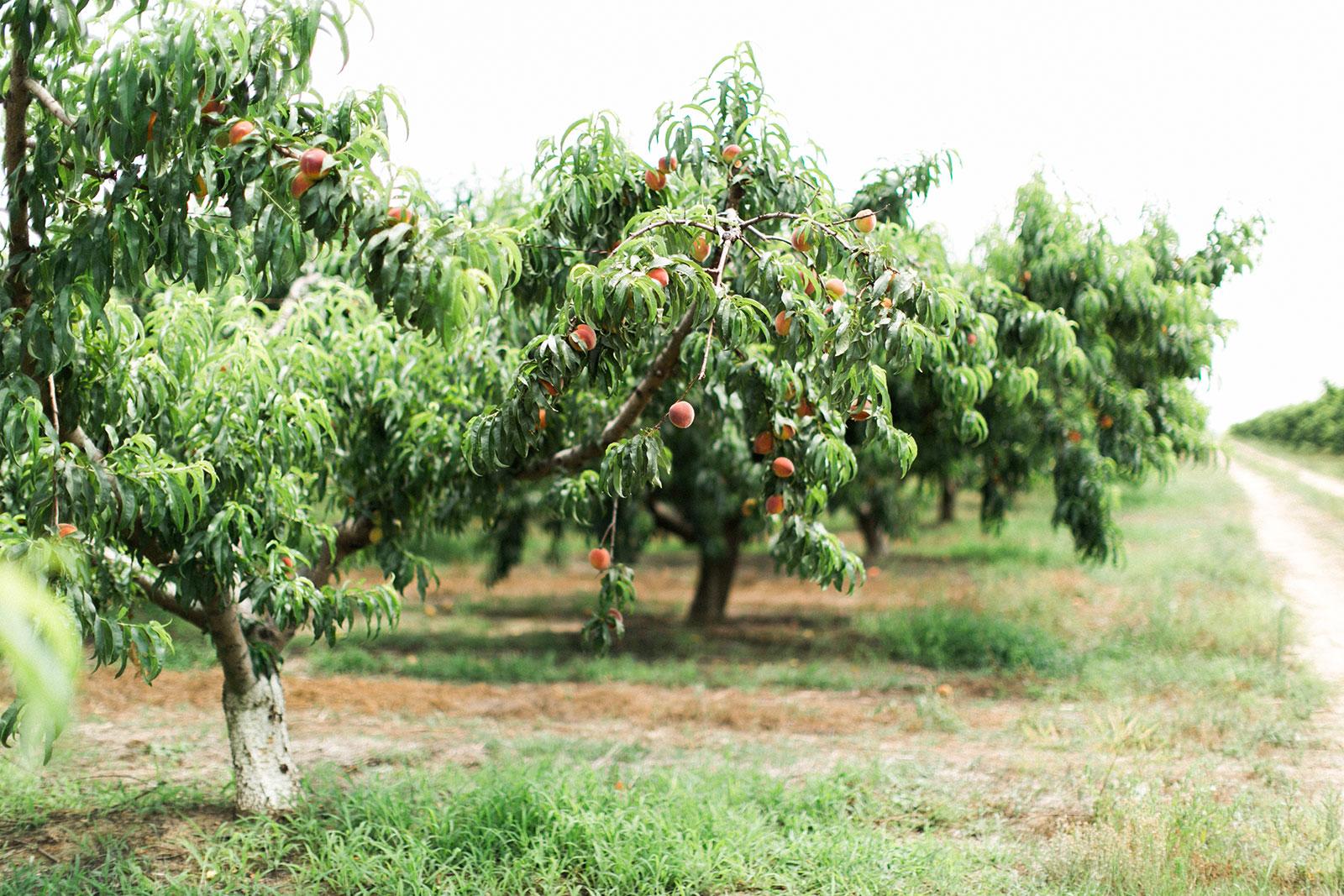 Peach Trees - The Peach Pelican