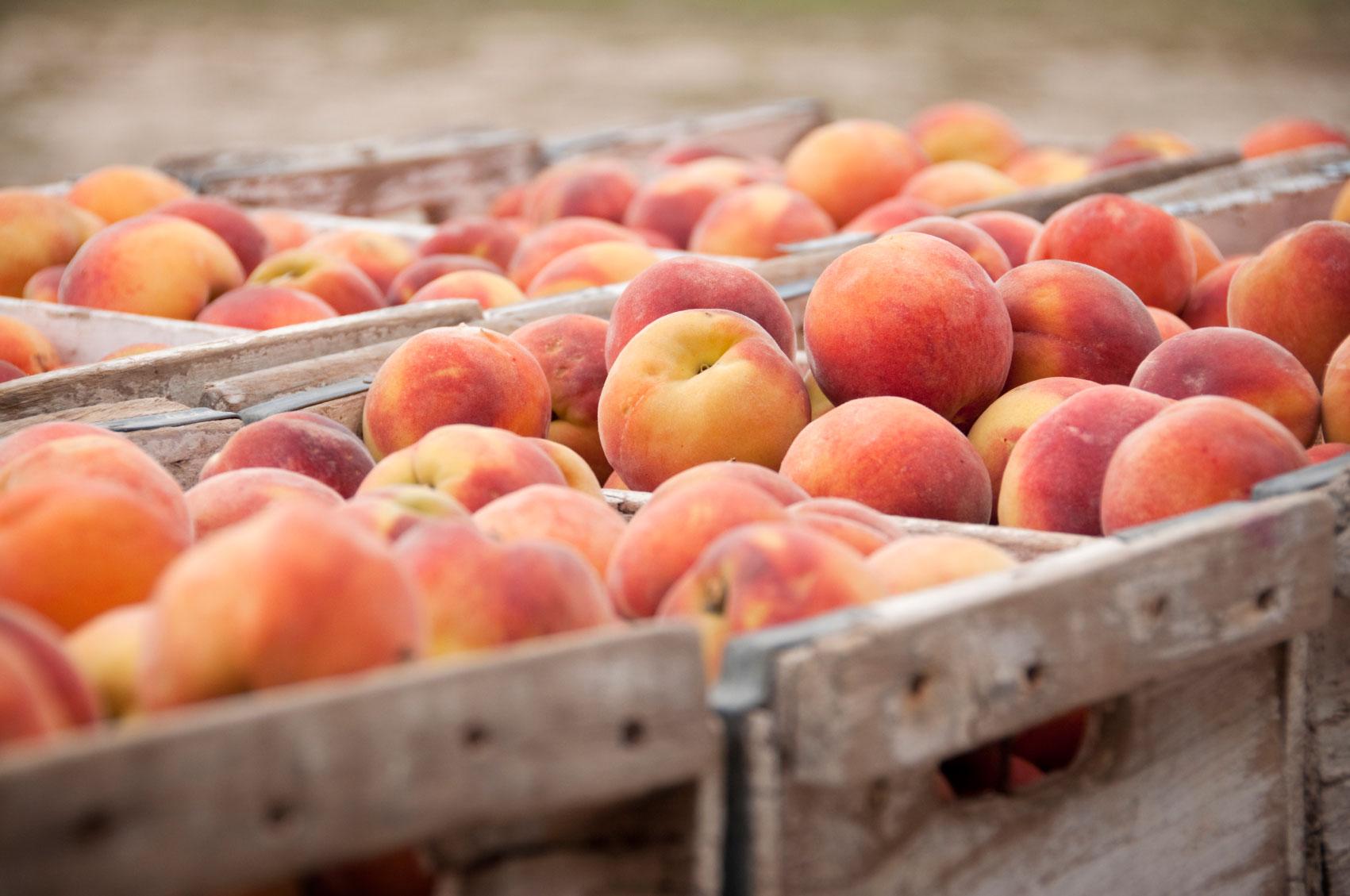 Peaches in Crates - The Peach Pelican