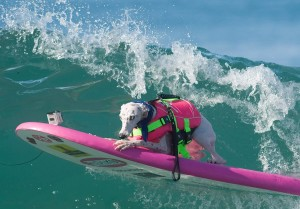 Beans, a whippet owned by Jen Havens, sports a fashionable pink vest with matching surfboard as she competes in the Surf City Surf Dog contest on Sunday.The deaf canine deaf loves the water. Havens said her dog would swim out to surfers and jump on their boards forcing Havens to learn to surf so she could accompany Beans. ///ADDITIONAL INFO: - Photo by MINDY SCHAUER, THE ORANGE COUNTY REGISTER -  shot: 092715 surfdogs.0927