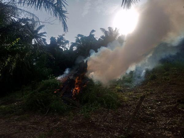 Marijuana Farm Worth Over N1.5 Billion Was Set Ablaze By NDLEA in Kogi State