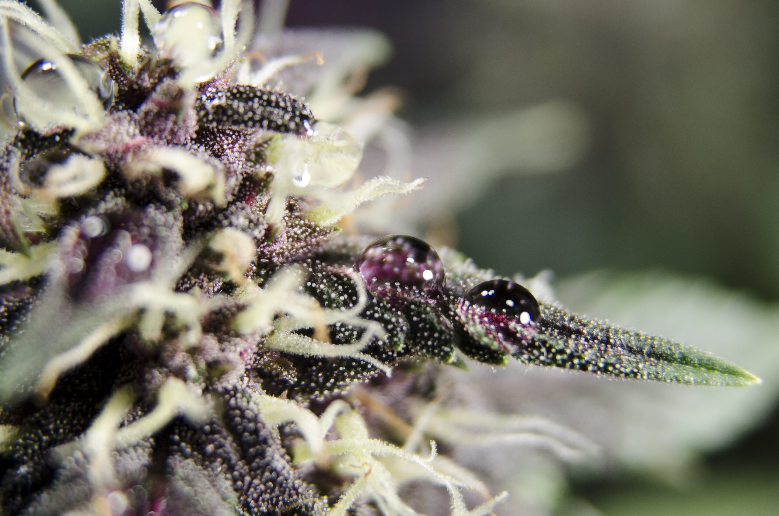 purple-high-thc-cannabis-flower-with-resin