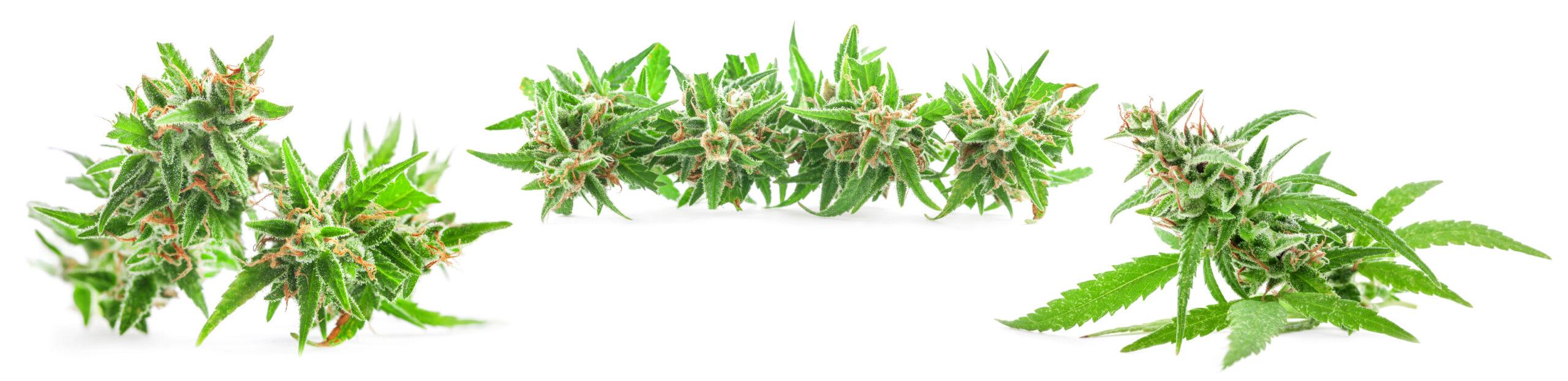 Fresh Medical marijuana isolated on white background. Therapeutic and Medical cannabis