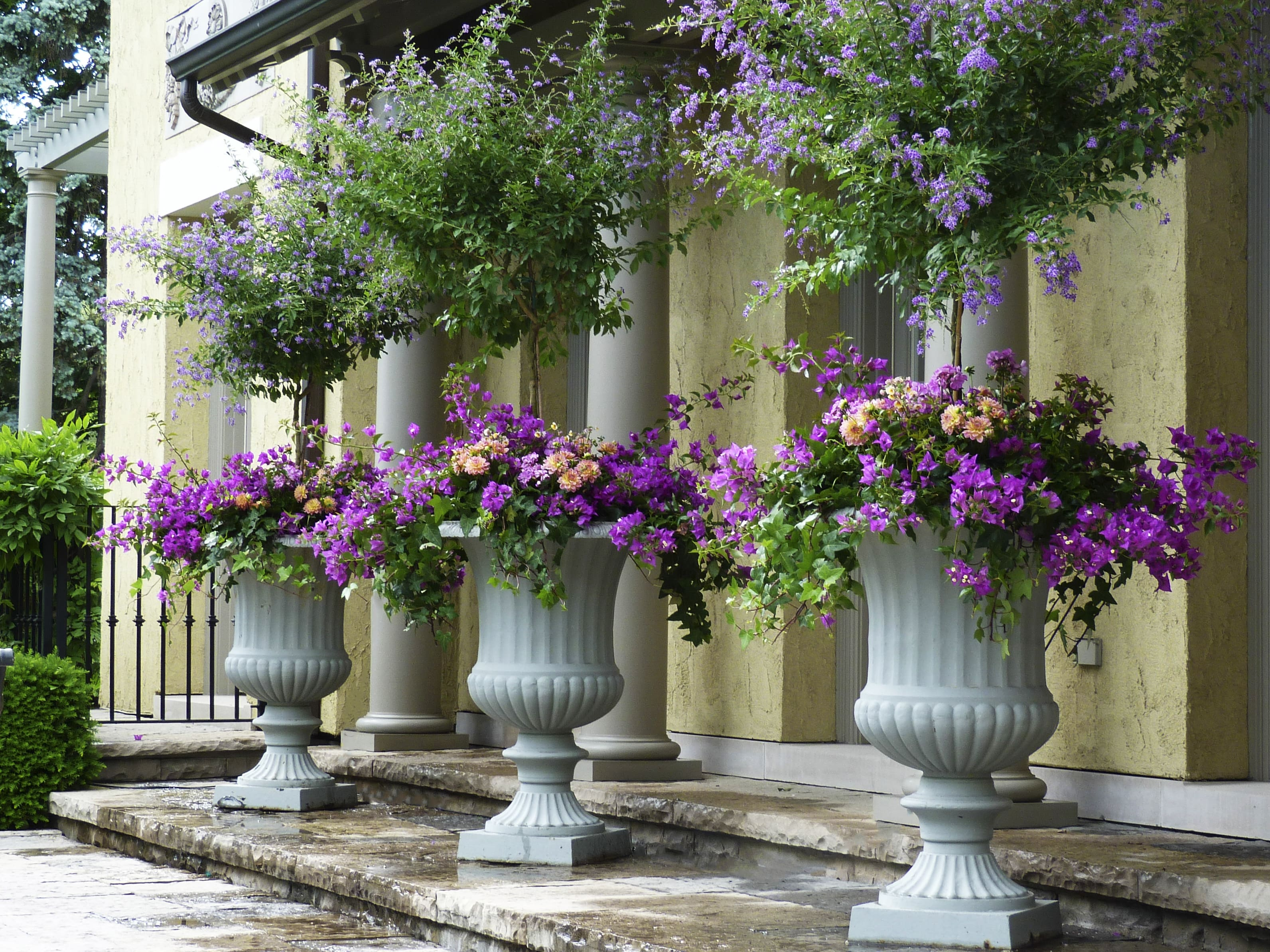 Service: containers. Purple flowers in large white contianers