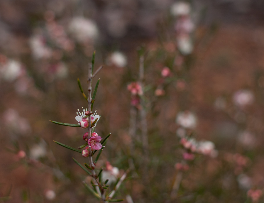 Jarrahwood-wildflower-2