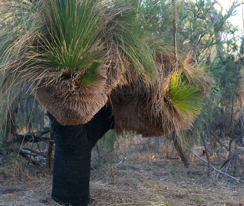 Prune-grass-tree