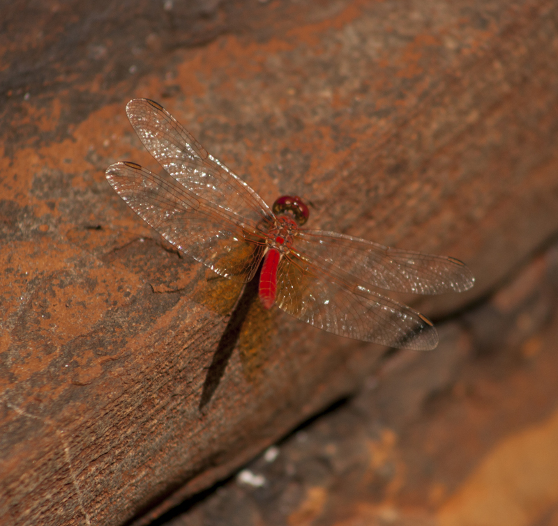 Dragon fly karijini