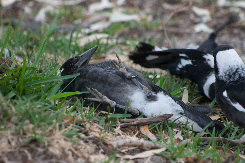 Magpie-play-3