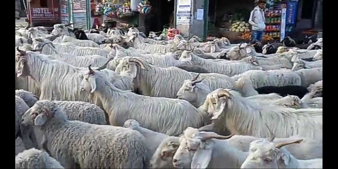किन्नौर में भारी हिमपात के बाद भेड़पालक सर्दियों के करीब 3 माह तक संगड़ाह के जंगलो में डालेंगे डेरा