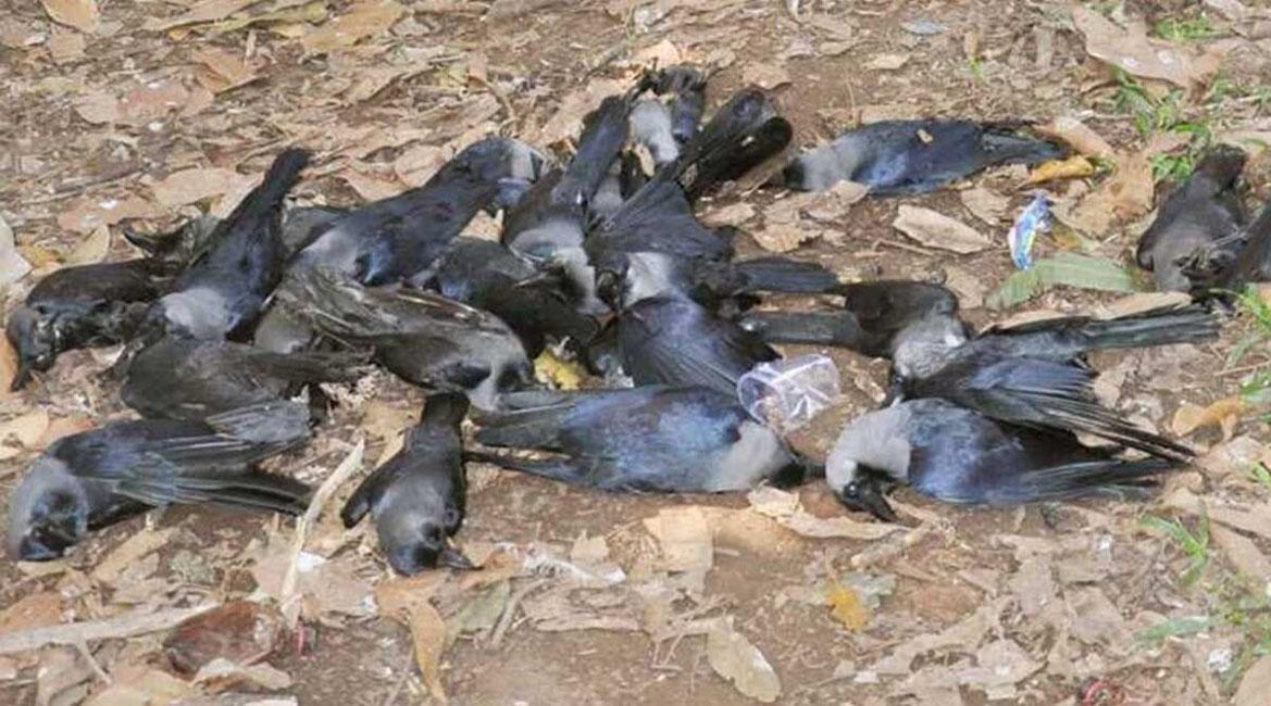 मरे हुए मिले कौवों में बर्ड फ्लू पाया गया, प्रशासन और पशु पालन विभाग अलर्ट
