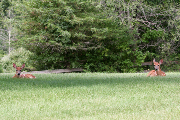 fawns-1