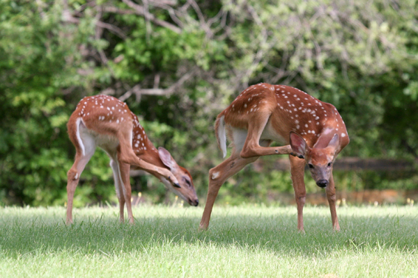 fawns-4