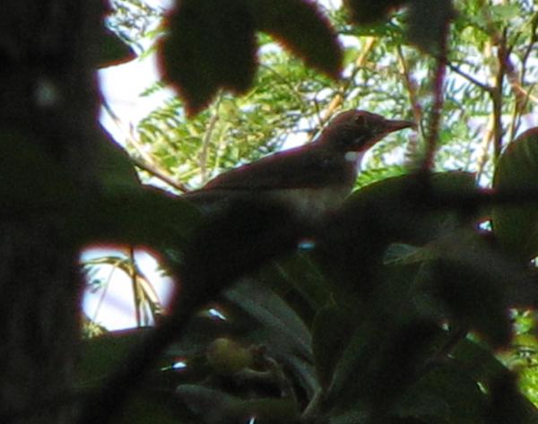 white-throated-thrush