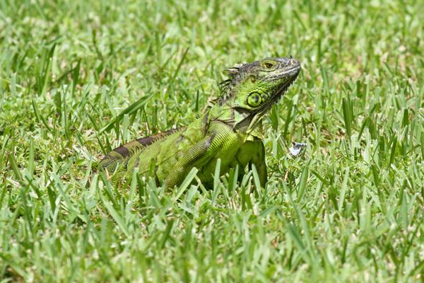 green-iguana-resize