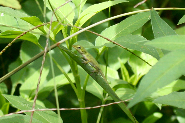 knight-anole-resize