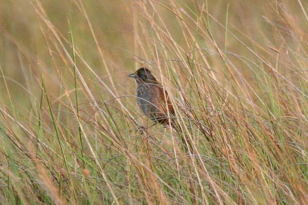 seaside-sparrow