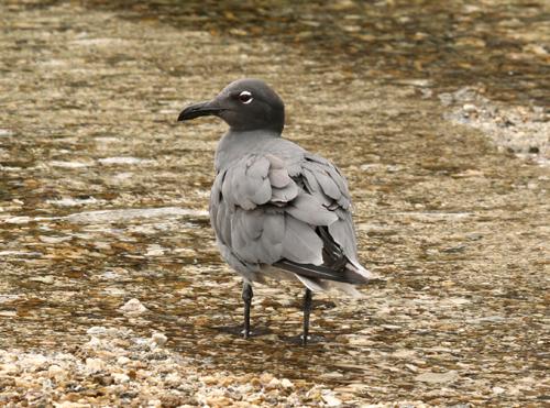 lava-gull