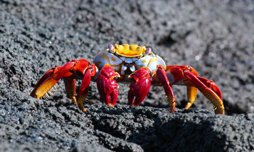 sally-crab