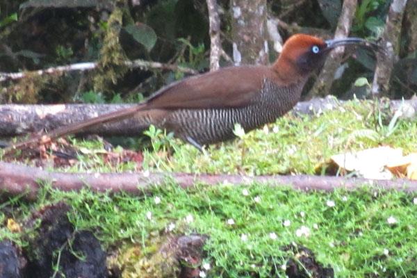 brown-sicklebill-sml