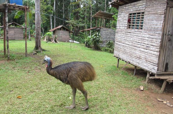 cassowary-camp-sml