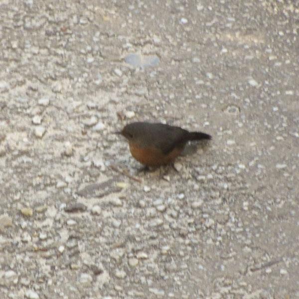 rock-warbler-sml