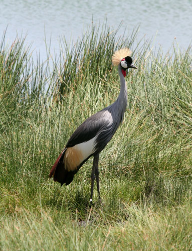 gray-crowned-cranes