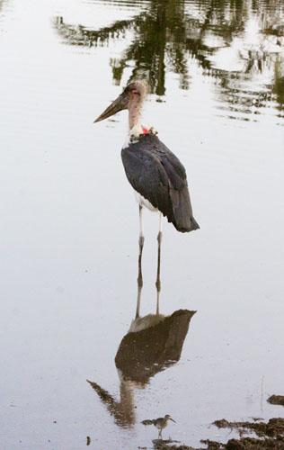 marabou-stork