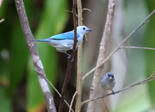 blue-gray-tanagers