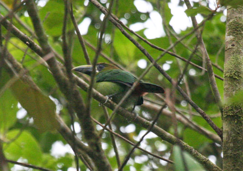 blue-throated-toucanet