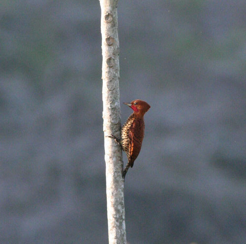 cinnamon-woodpecker
