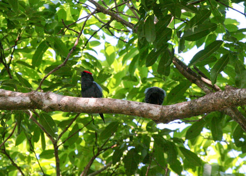lance-tailed-manakins