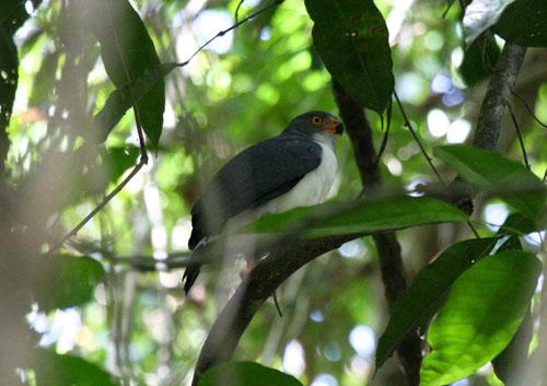 semi-plumbeous-hawk
