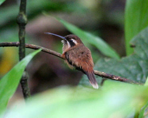 streak-throated-hermit