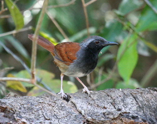 white-bellied-antbird