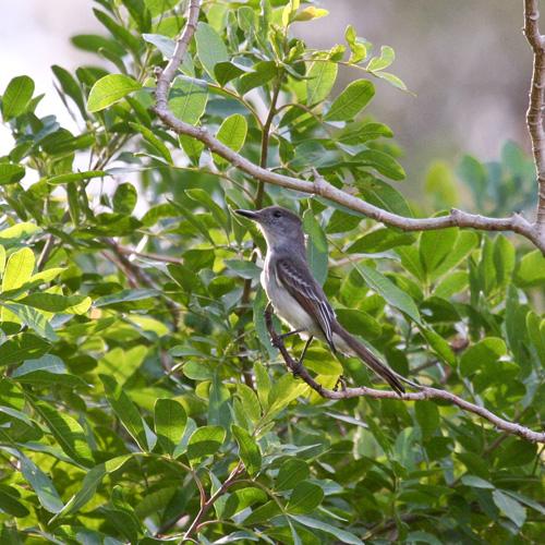 lasagra-flycatcher