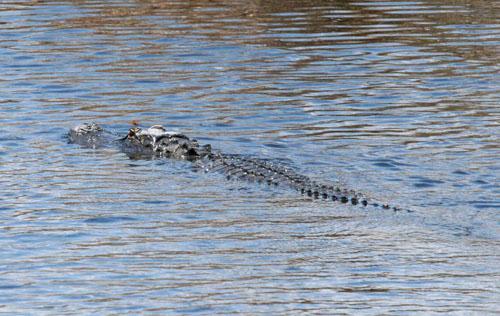 blog-crocodile_2566