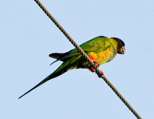 blog-nanday-parakeet_2543