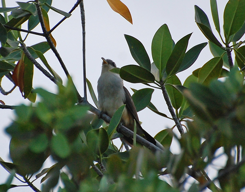 cuckoo-mangrove-black-01-blog