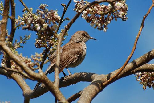 mockingbird-bahama-blog