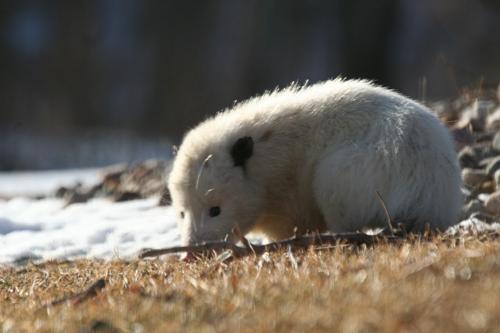 possum-1
