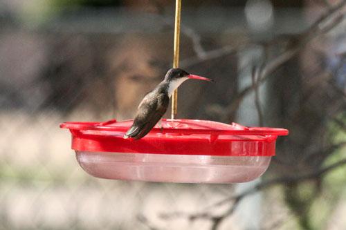 violet-crowned-hummingbird