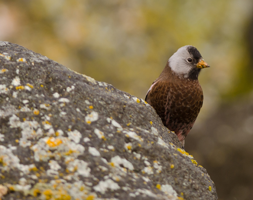 blog-gray-crowned-rosy-finch